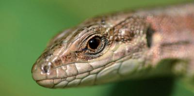 JSC_MPNC_Reptiles