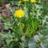 Plantes comestibles 04-05-2017